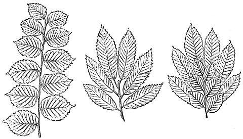 PSM V27 D364 Leaf arrangements of nut bearing trees.jpg