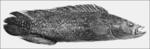 PSM V68 D531 Crenicichla saxatilis of the chiclidae.png