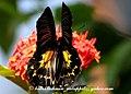Pa Southern Birdwing 18 January 2008 T (2205552135).jpg