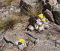 Pachypodium Antanifotsy2.JPG
