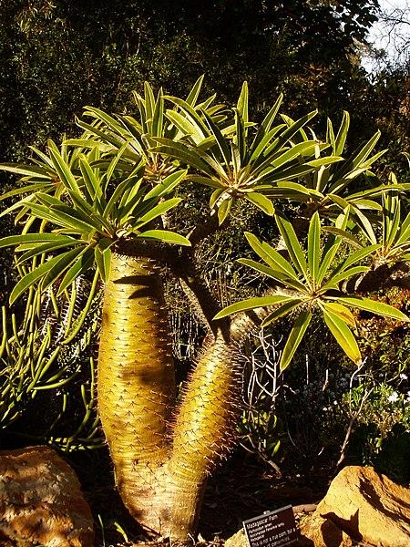 File:Pachypodium lamerei (2).jpg