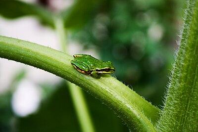 Pacific tree frog - Wikipedia