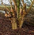 Paddenstoelen (Pleurotus ostreatusop) een vlier (Sambucus nigra). Locatie, Natuurterrein De Famberhorst 02.jpg