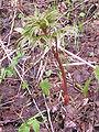 Paeonia anomala L.jpg
