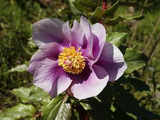 Paeonia mascula - (from Sardinia)