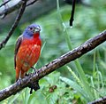 Painted Bunting, Male 24 Jun 06 (177601698).jpg