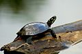 Painted Turtle on a log mirrored.jpg