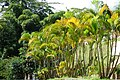 Palma areca (Dypsis lutescens) (14582342585).jpg