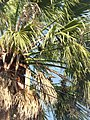 Palmeras en Trenque Lauquen (planta 06) foto 06.JPG