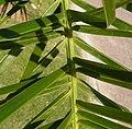 Palmeras en Trenque Lauquen (plantas 03) foto 03 (cropped).JPG