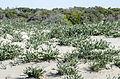 Pancratium maritimum - Sea daffodil - Kum Zambağı 03.jpg