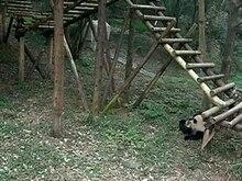 Fichier:Pandas playing 640x480.ogv