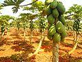 Papaya plantation near Fushan town, Hainan, China - 02.jpg
