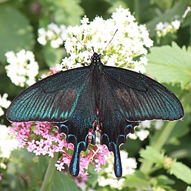 Papilio bianor male on flower.JPG