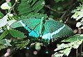 Papilio crino from Melagiri TN IMG 6181.jpg