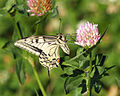 Papilio machaon LC0085.jpg