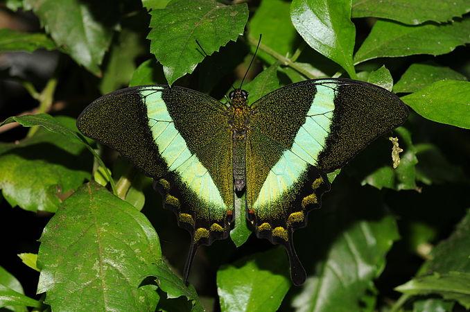 Papilio palinurus 1.jpg