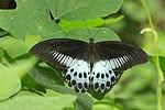 Papilio polymnestor of Kadavoor.jpg