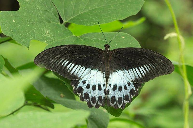 File:Papilio polymnestor of Kadavoor.jpg