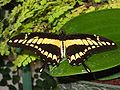 Papilio thoas dorsal.jpg