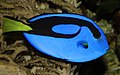 Paracanthurus-hepatus-paletten-doktorfisch.jpg