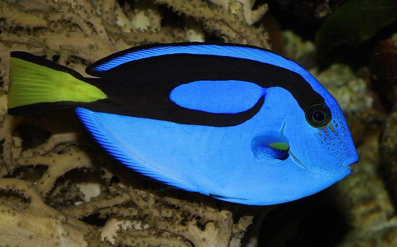 File:Paracanthurus Hepatus Paletten Doktorfisch