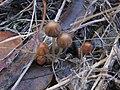 Parasola auricoma (Pat.) Redhead, Vilgalys & Hopple 273886.jpg