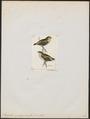 Pardalotus quadragintus - 1820-1860 - Print - Iconographia Zoologica - Special Collections University of Amsterdam - UBA01 IZ16600329.tif