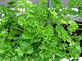 Parsley2.jpg