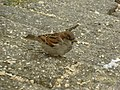 Passer domesticus, house sparrow.jpg