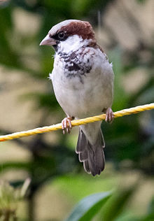 Passer domesticus aug13 3.jpg