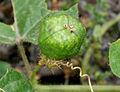 Passiflora foetida W IMG 0590.jpg