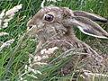 Patagonian Hare.jpg