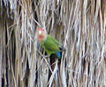 Peach faced parrot 1.jpg