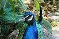 Peacock - portrait photo.jpg