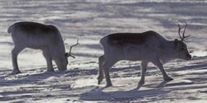 Qausuittuq National Park - Peary caribou