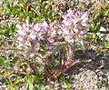 Pedicularis hirsuta (Longyearbyen).JPG