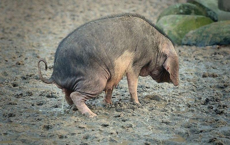 File:Peeing Pig Pinkelndes Schwein.jpg