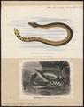 Pelamis bicolor - 1700-1880 - Print - Iconographia Zoologica - Special Collections University of Amsterdam - UBA01 IZ11800189.tif