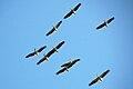 Pelecanus onocrotalus -Gambia -nine flying-8.jpg