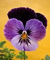 Pensamiento (Viola sp.) (14618371860).jpg