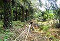 Perkebunan kelapa sawit milik rakyat (23).JPG
