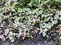 Persicaria capitata-1-badulla road-nuwara eliya-Sri Lanka.jpg