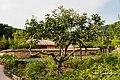 Persimmon tree (감나무) - panoramio.jpg