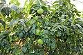 Pescia, Giardino degli agrumi hesperidarium, di oscar tintori vivai, 22 citrus chjronia.jpg