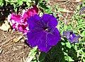 Petunia sp. (Middletown, Ohio, USA) 2 (49112583221).jpg