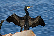 Phalacrocorax carbo Austins Ferry 1