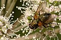 Phaonia.angelicae.female.jpg