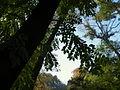 Phellodendron amurense (15).JPG