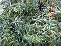 Phlox subulata 02.jpg